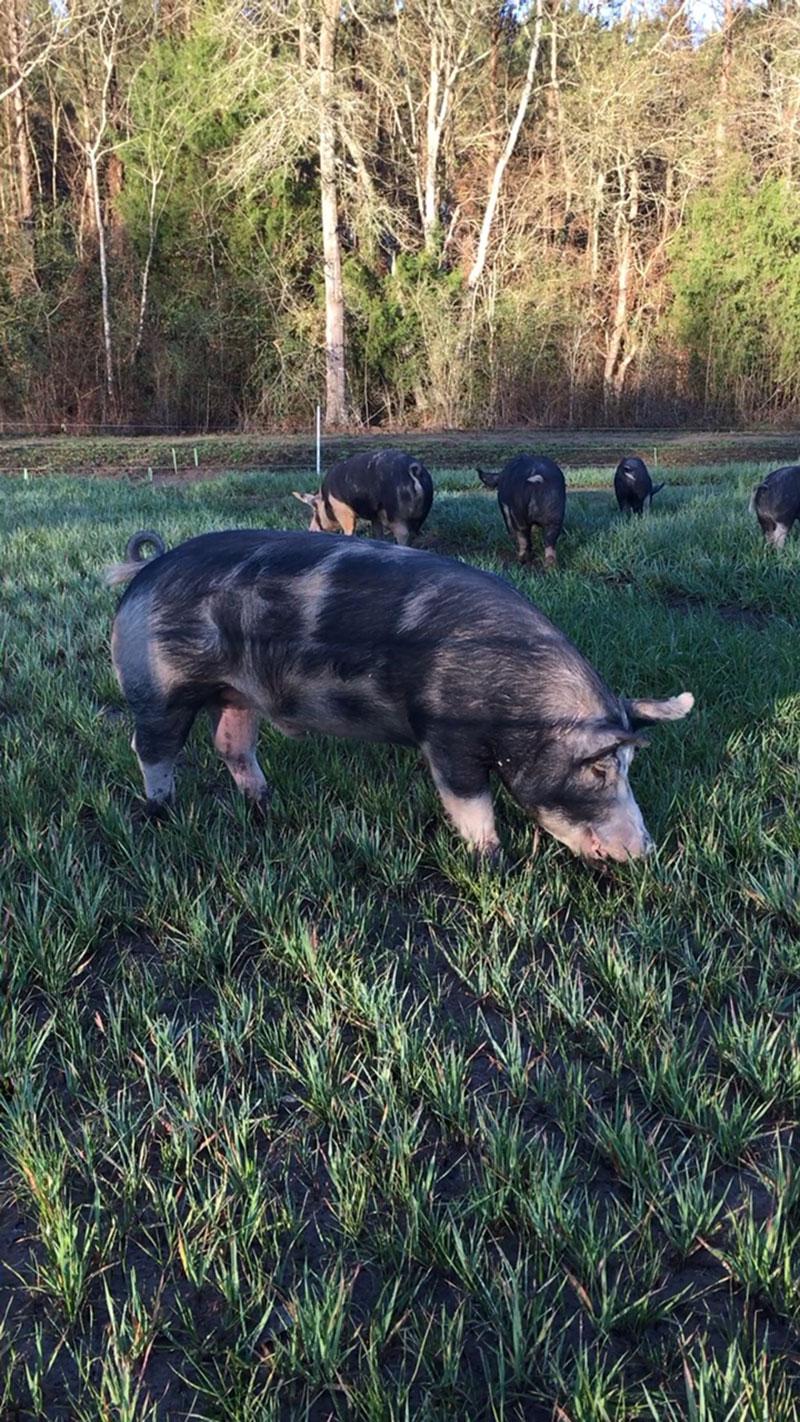 Berkshire-Hog-3